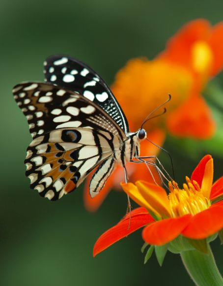 butterfly taking nectar from an orange flower